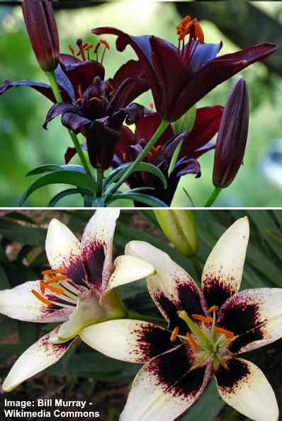 Picture of black lilium with dark red and black flowers