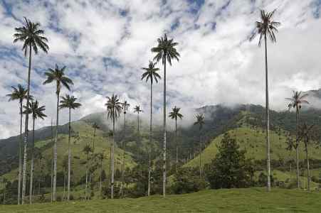 colombia palm