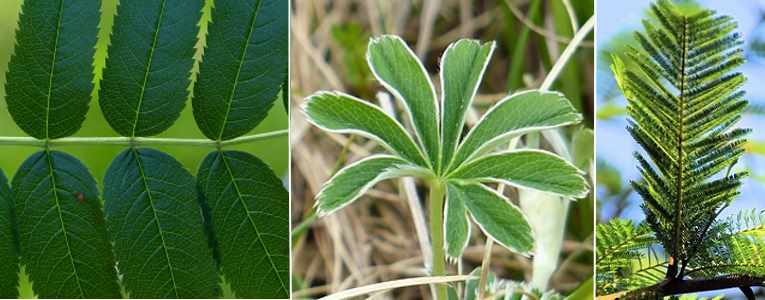 types of compound leaves