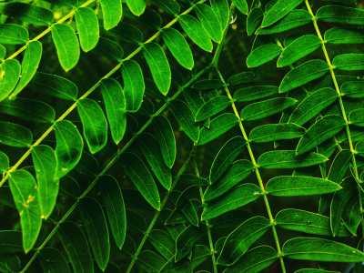 compouned leaves