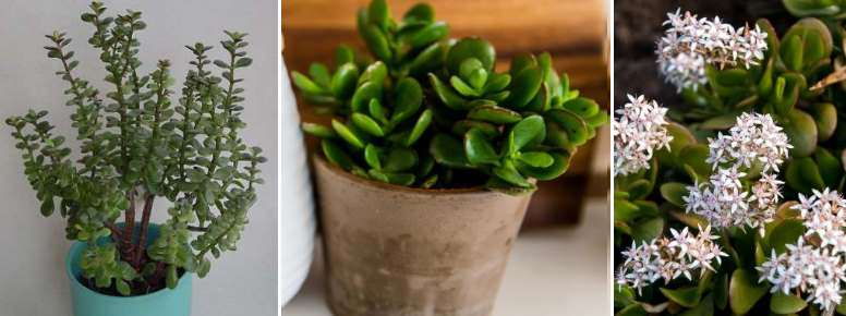 Crassula ovata - this jade plant is also known as the money tree or money plant