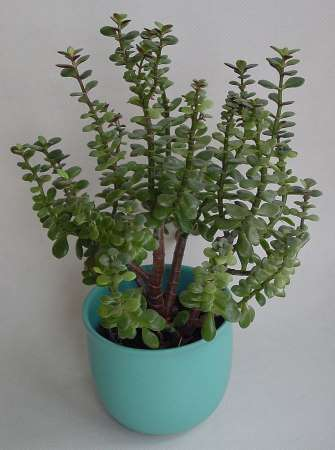 jade plant (also named money maker plant) is a lucky charm plant to grow inside the house