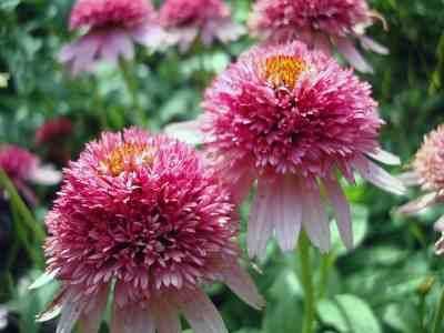 Echinacea 'Double Delight' daisy picture