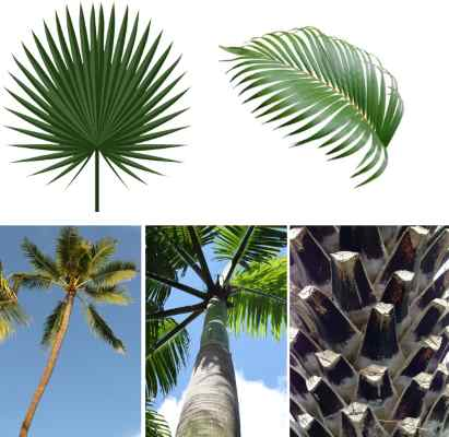 palm tree identification features: tall skinny palm, spiky palm, thick palm