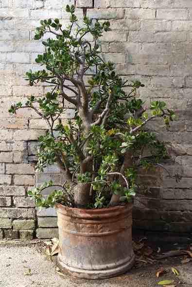 jade succulent - Jade Plant bonsai tree