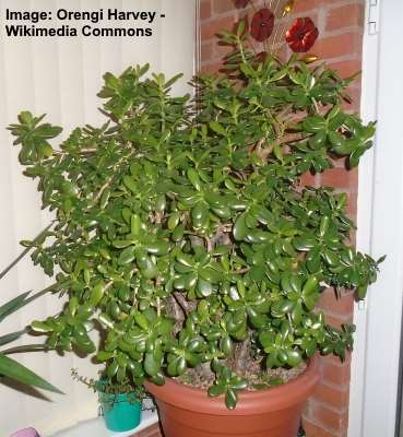 jade money plant - Jade trees take to bonsai readily