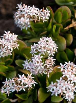crassula ovata flowers