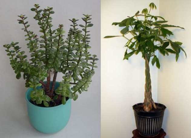 lucky plants - money plant and braided money tree plant