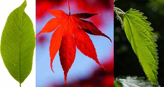 types of tree leaves