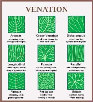 Tree leaf chart: leaf venation