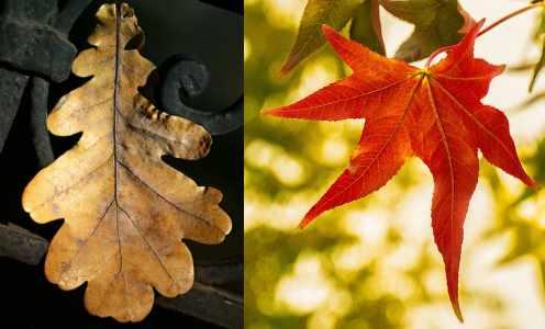 lobed leaves