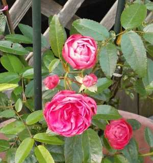 miniature rose (picture of pink rose flowers)