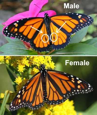 Male butterfly vs. female butterfly identification
