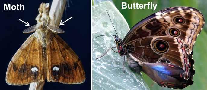 Identification of moths vs. butterflies