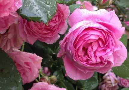 old tea rose