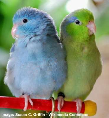 blue and green Pacific parrotlets