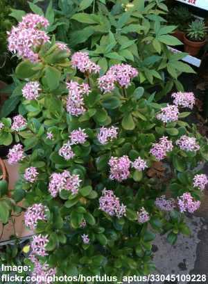 pink lade crassula ovata