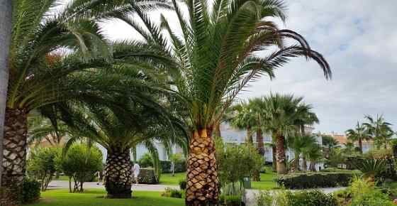 Types Of Palm Trees With Identification Guide Pictures