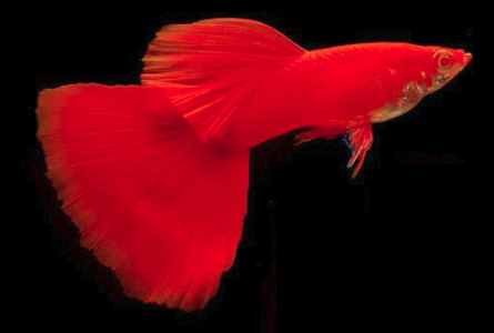 solid red guppy