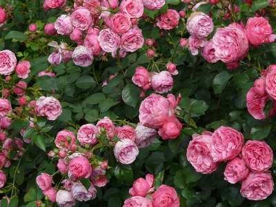 rosa pomponella