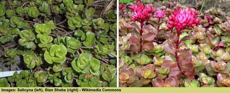 Pictures of Sedum spurium 'Album' succulent and Sedum spurium 'Purpurteppich' succulent