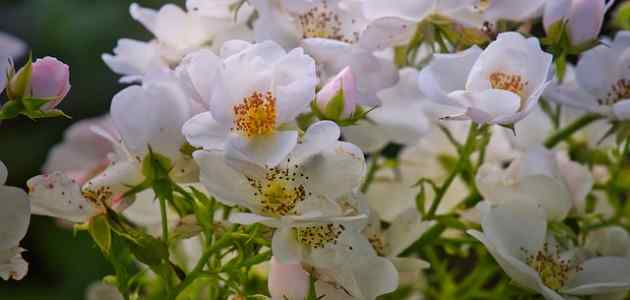 shrub rose (picture of white garden rose)
