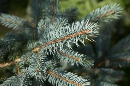 single needle leaves