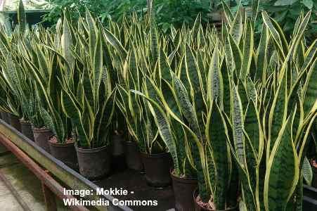 snake plant succulent