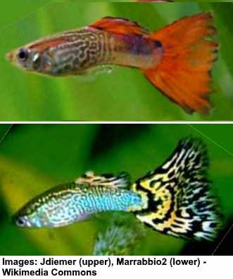 snakeskin guppies