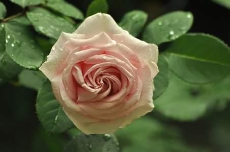 tea rose is a type of modern rose