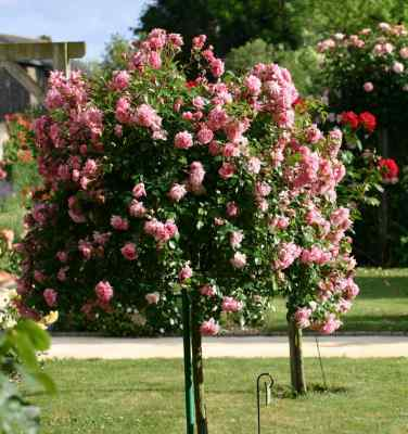 tree rose picture