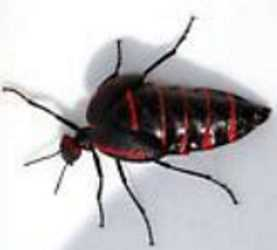 red and black Blister Beetle