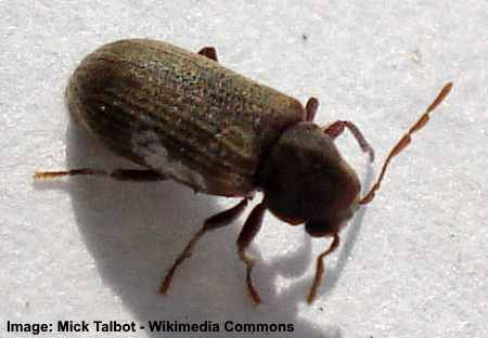Common Furniture Beetle is a small black bug that can be found in the house