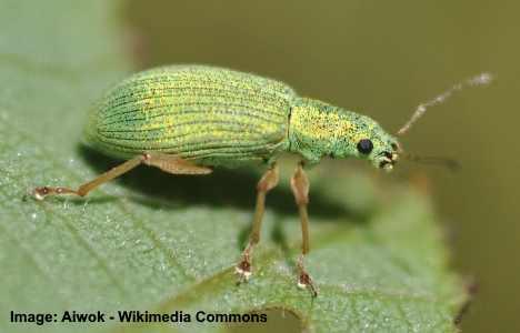 Pale Green Weevil Beetle