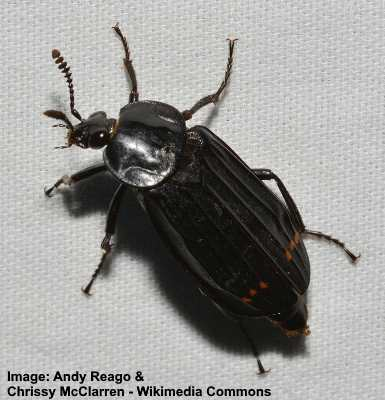 Red Lined Carrion Beetle
