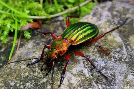 golden ground beetle
