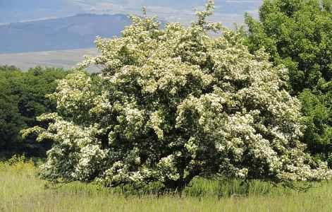 hawthorn flowering tree