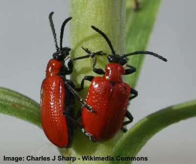 scarlet red beetle