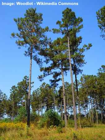 loblolly pined