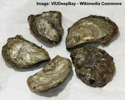 olimpia oysters