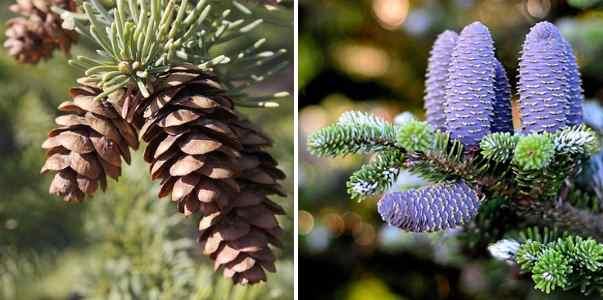 pine or fir
