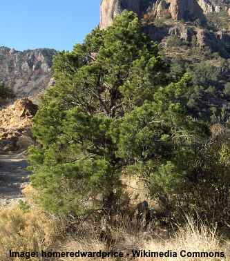 Mexican pine