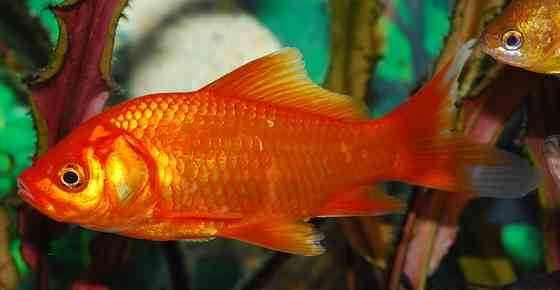 Tropical Freshwater Aquarium Fish for Beginners