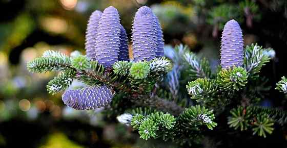 Types of Fir Trees with Identification Guide and Pictures