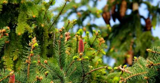 evergreen trees identification and pictures