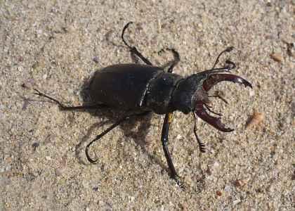 Black Beetle bug: stag beetle