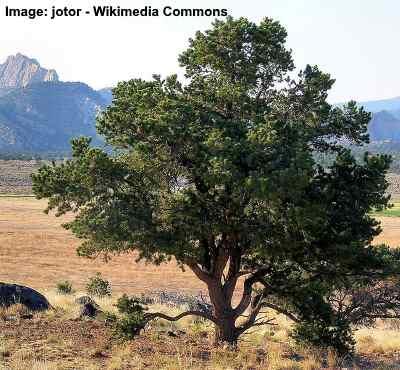 two needle pinyon pine
