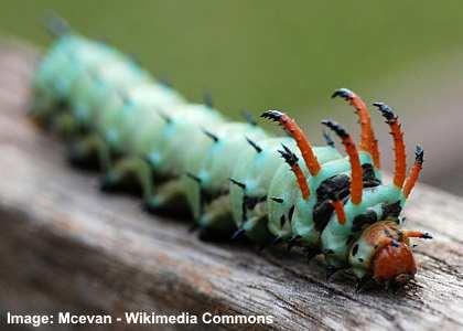 Hickory Horned Caterpillar