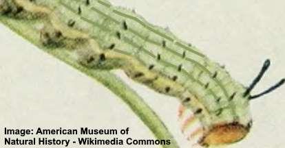 Rosy Maple Caterpillar