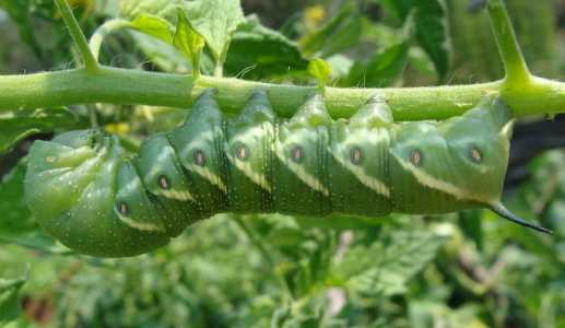 Tomato Hornworm Caterpillar